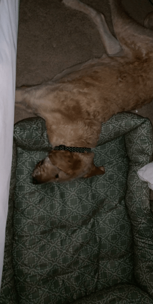 Giant, Dog, and Pillow: Dog Bed or Giant Pillow ?
