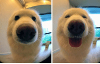 Memes, 🤖, and Good Boy: Dog before and after being called a good boy!