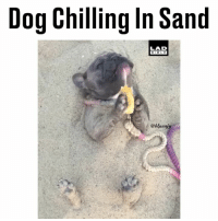 Memes, Beach, and Bible: Dog Chilling In Sand  LAD  BIBLE  @bluen Working on my beach body... (@bluenjy)