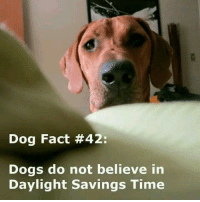 Daylight Savings Time, Dogs, and Facts: Dog Fact #42:  Dogs do not believe in  Daylight savings Time You thought you got an extra hour to sleep in. Wrong! LOL!!
