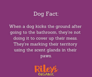 Dogs, Memes, and Been: Dog Fact:  When a dog kicks the ground after  going to the bathroom, they're not  doing it to cover up their mess.  They're marking their territory  using the scent glands in their  paws.  Rileys  ORGANIC They want all other dogs in the area to know that spot has been claimed.