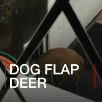 "A rescued deer has learned to use a dog flap to get into its owner's house. John Slater says she is now ""part of his family"". The animal named Strawberry lives in his shed but comes into the kitchen through a flap in the back door. bbcnews deer doeadeer dogflap family wiltshire unitedkingdom rescue strawberry kitchen muntjac muntjacdeer: DOG FLAP  DEER A rescued deer has learned to use a dog flap to get into its owner's house. John Slater says she is now ""part of his family"". The animal named Strawberry lives in his shed but comes into the kitchen through a flap in the back door. bbcnews deer doeadeer dogflap family wiltshire unitedkingdom rescue strawberry kitchen muntjac muntjacdeer"