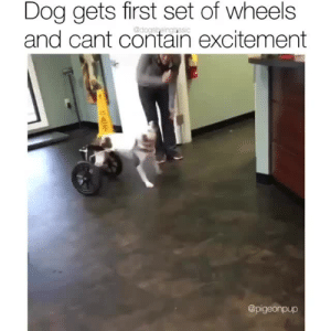 just a little pick me up. via @pigeonpup: Dog gets first set of wheels  and cant contain excitement  @dogsbeinggasic  @pigeonpup just a little pick me up. via @pigeonpup