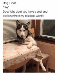 Funny, Dog, and Yes: Dog: Linda  Yes  Dog: Why don't you have a seat and  explain where my testicles went 😂😫😫 | More 👉 @miinute