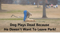 Dog refuses to leave doggy park....Plays dead LoL ❤️Puggy❤️: Dog Plays Dead Because  He Doesn't Want To Leave Park! Dog refuses to leave doggy park....Plays dead LoL ❤️Puggy❤️