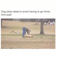 Trying to take your friend home when the club closes...: Dog plays dead to avoid having to go home  from park Trying to take your friend home when the club closes...