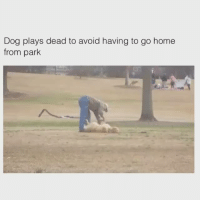 Me with school 😂: Dog plays dead to avoid having to go home  from park Me with school 😂