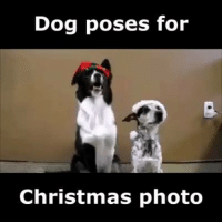 LOVE this!! <3: Dog poses for  Christmas photo LOVE this!! <3
