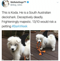 Animals, Cute, and Cute Animals: @dog rates  This is Koda. He is a South Australian  deckshark. Deceptively deadly.  Frighteningly majestic. 13/10 would risk a  petting #BarkWeek  Frighteningly majestic. 1310 would risk a SWIPE & TAG ❤️ follow me @v.cute.animals 👈👈 @chaos.reigns_