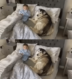 Dog refuses to get out of bed then proceeds to fall asleep looking after baby(Source): Dog refuses to get out of bed then proceeds to fall asleep looking after baby(Source)