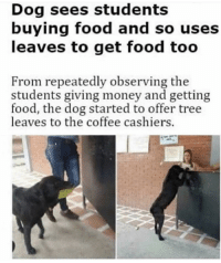 Food, Money, and Coffee: Dog sees students  buying food and so uses  leaves to get food too  From repeatedly observing the  students giving money and getting  food, the dog started to offer tree  leaves to the coffee cashiers. wholesome pup
