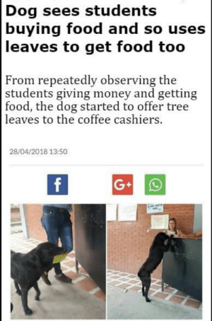 nehbulah: clatterbane:  sandersstudies:   anxious-baby-nightmare:  If boy didn't leave with a pastry I swear to G  GUYS HE GOT HIS COOKIE, EVERYTHING IS OKAY   (Story)  I'M INTERRUPTING YOUR FEED WITH A V IMPORTANT UPDATE : Dog sees students  buying food and so uses  leaves to get food too  From repeatedly observing the  students giving money and getting  food, the dog started to offer tree  leaves to the coffee cashiers.  28/04/2018 13:50 nehbulah: clatterbane:  sandersstudies:   anxious-baby-nightmare:  If boy didn't leave with a pastry I swear to G  GUYS HE GOT HIS COOKIE, EVERYTHING IS OKAY   (Story)  I'M INTERRUPTING YOUR FEED WITH A V IMPORTANT UPDATE