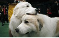 Love, Target, and Tumblr: dog-sister: tinybed:  dog #1 is nervous for the big show, dog #2 comforts him  i love this story