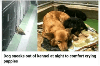 Crying, Puppies, and Dog: Dog sneaks out of kennel at night to comfort crying  puppies <p>A motherly instinct knows no bounds</p>