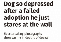Dogs, Fail, and Depression: Dog so depressed  after a failed  adoption he just  stares at the wall  Heartbreaking photographs  show canine in depths of despair https://t.co/3TFPljJj0W