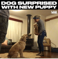 Dogs, Love, and Memes: DOG SURPRISED  WITH NEW PUPPY  LAD  BIBLE Love love this dogs reaction to new puppy 🐶😘 ❤️Puggy❤️