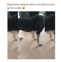 Naw just let the poor thing go for a walk 😂 --> follow me @comedyslam for more!: Dog throws tantrum when he's told he can't  go for a walk Naw just let the poor thing go for a walk 😂 --> follow me @comedyslam for more!