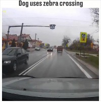 Dog uses zebra crossing A textbook example of how to cross the road safely... 😂😂