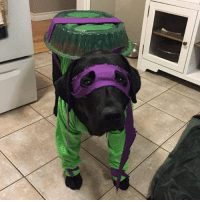 Dogatello doesn't look too happy about his outfit! Watcha think? 🐢 FYI, Looters: January's ORIGINS Loot Crate features EXCLUSIVE TMNT loot! It will also include items from Superman, CaptainAmerica, & DonkeyKong. Click the link in the bio for more details :) (via 9gag.com) Donatello Donnie tmnt ninjaturtles dogsofinstagram instadogs lootcrate: Dogatello doesn't look too happy about his outfit! Watcha think? 🐢 FYI, Looters: January's ORIGINS Loot Crate features EXCLUSIVE TMNT loot! It will also include items from Superman, CaptainAmerica, & DonkeyKong. Click the link in the bio for more details :) (via 9gag.com) Donatello Donnie tmnt ninjaturtles dogsofinstagram instadogs lootcrate