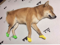 Doge with his booties: Doge with his booties