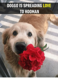 We need this kind of positivity in life.  https://9gag.com/gag/av7Enjd/sc/funny?ref=fbsc: DOGGO IS SPREADING LOVE  TO HOOMAN We need this kind of positivity in life.  https://9gag.com/gag/av7Enjd/sc/funny?ref=fbsc