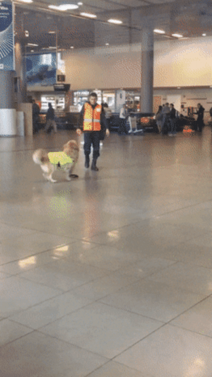 doggos-with-jobs:  Airport dog is excited to get to work.: doggos-with-jobs:  Airport dog is excited to get to work.