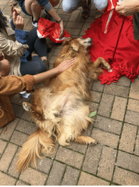 Tumblr, Blog, and Jobs: doggos-with-jobs:Daisy, a therapy dog enjoying some rubs