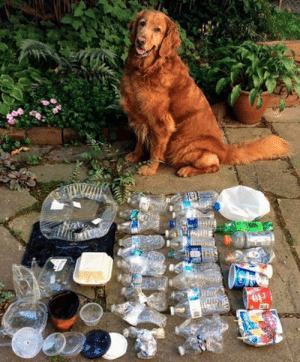 doggos-with-jobs: Dog learned to pick up plastic when owner was doing it and gave dog treats for finding trash. Cleaned the neighborhood!!!: doggos-with-jobs: Dog learned to pick up plastic when owner was doing it and gave dog treats for finding trash. Cleaned the neighborhood!!!