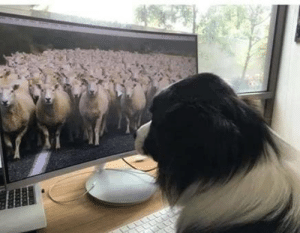 doggos-with-jobs:  My border collie is adjusting to working from home due to coronavirus: doggos-with-jobs:  My border collie is adjusting to working from home due to coronavirus