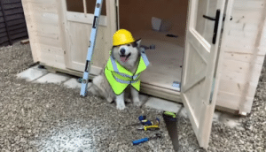 doggos-with-jobs:  Phil the builderboye (from Life with Malamutes on YouTube): doggos-with-jobs:  Phil the builderboye (from Life with Malamutes on YouTube)