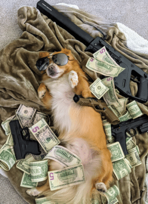 doggos-with-jobs:  Professional pimp living the life: doggos-with-jobs:  Professional pimp living the life