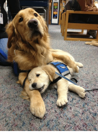 Tumblr, Work, and Blog: doggos-with-jobs:Take your kid to work day
