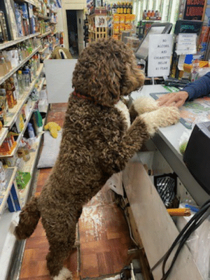 doggos-with-jobs:The new bodega guy on our corner!: doggos-with-jobs:The new bodega guy on our corner!
