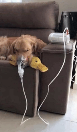 Doggy has asthma and requires multiple nebulizations. But as long as he has his ducky with him, he know he is gonna be ok.(via): Doggy has asthma and requires multiple nebulizations. But as long as he has his ducky with him, he know he is gonna be ok.(via)