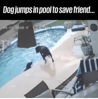 "Dank, Dogs, and Saw: Dogjumps inpool to save friend  04-29-2018 S ""Checked the camera to see why my dogs were wet and saw this..."" What a hero! 👏🙌  ViralHog"