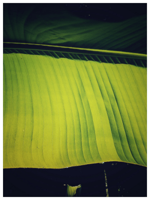 dogman707:  Simple Green 3 - by Dogman707I just like how the sun comes through the banana leaves.: dogman707:  Simple Green 3 - by Dogman707I just like how the sun comes through the banana leaves.