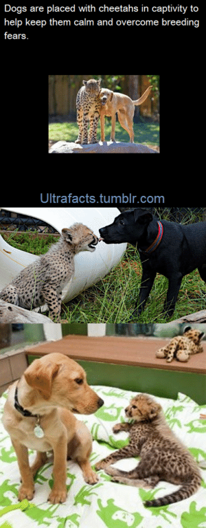 thatsthat24:  crowmeme:  actuallyasisterofbattle:  ultrafacts:  vancity604778kid:  absolutepie:  ultrafacts:  The same thing is done with racing horses. Except that they use a goat. [x] (Fact Source) Follow Ultrafacts for more facts  HELLO FAST CAT I AM YOUR DESIGNATED DOG FRIEND  Opponents would literally attempt to kidnap each other's goats in an effort to upset the horse and cause them to lose the race. [x]    I have a weird derailing question. Is this the origin of the idiom about getting someone's goat?  As a matter of fact, it is!  I just learned so much from this one post. : Dogs are placed with cheetahs in captivity to  help keep them calm and overcome breeding  fears  Ultrafacts.tumblr.com thatsthat24:  crowmeme:  actuallyasisterofbattle:  ultrafacts:  vancity604778kid:  absolutepie:  ultrafacts:  The same thing is done with racing horses. Except that they use a goat. [x] (Fact Source) Follow Ultrafacts for more facts  HELLO FAST CAT I AM YOUR DESIGNATED DOG FRIEND  Opponents would literally attempt to kidnap each other's goats in an effort to upset the horse and cause them to lose the race. [x]    I have a weird derailing question. Is this the origin of the idiom about getting someone's goat?  As a matter of fact, it is!  I just learned so much from this one post.
