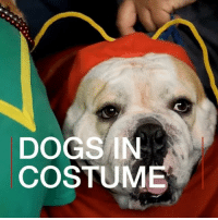 It's NationalMuttDay. What better way to celebrate than to show you these dogs, who've been taking part in a costume contest in El Salvador. From pirates to pompoms, the dogs and their owners have been showing off some paw-some outfits. 🐶❤️ dog dogs mutt mutts doggydressup woof BBCShorts BBCNews dogsofinstagram: DOGS IN  COSTUME It's NationalMuttDay. What better way to celebrate than to show you these dogs, who've been taking part in a costume contest in El Salvador. From pirates to pompoms, the dogs and their owners have been showing off some paw-some outfits. 🐶❤️ dog dogs mutt mutts doggydressup woof BBCShorts BBCNews dogsofinstagram