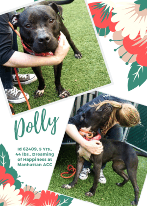"Beautiful, Cats, and Children: Dolley  Id 62409, 5 Yrs.  44 Ibs., Dreaming  of Happiness at  Manhattan ACc TO BE KILLED 6/22/19  Dolly is a playgroup helper dog!   A volunteer writes: ""I wonder what Dolly's life was like before arriving at the care center? We will likely never know. Well, what's really important now is to find her a new home and a loving family able to put a smile on her face while getting in return a great pet! Dolly is a little black orchid found in a forest rather than in a florist shop. She is genuine, untamed and everything seems new to her here in our premises. She goes here and there, runs, jumps for treats or when called, wags her tail a lot, looses herself briefly in a caretaker's arms, sits at times and seems puzzled by toys and balls. Her kennel is not her favorite place and I doubt she was ever confined. Dolly is a blank canvas open to writing a whole new book with a new owner who will teach her all about love and being loved, good manners and achieving a perfect match! Dolly is quite endearing and the promise of a beautiful relationship in savvy, caring and loving hands. Come and meet her soon at the Manhattan Care Center!""  A Staff Member Notes: Dolly is a playgroup helper dog! Dolly is sweet and social.   Volunteer Evelyne Cumps Notes: Dolly is very sweet, playful, affectionate, good with other dogs and healthy beside her URI. She is LEVEL 1 rated! and a little more hyper as she is so craving for love and attention.  MY MOVIES Dolly and Sunny in Playgroup https://youtu.be/_KdnXl5AIHc  Playful Dolly  https://youtu.be/KdzeDutJNPY  Django and Dolly in Playgroup https://youtu.be/qZk5jBPUExI  DOLLY, ID# 62409, 5 yrs old, 44 lbs, Unaltered Female Manhattan ACC, Large Mixed Breed, Charcoal / White   I came into the shelter as a aco impound on 5/9/2019.  Shelter Assessment Rating: LEVEL 1 Medical Behavior Rating:  MEDICAL NOTES   Dolly has had two seizure episodes, over a month apart. She is now on medication for the seizures.   Behavior History: Allowed all tasks on in take, friendly.  Date of Intake: 5/9/2019  Spay/Neuter Status: Unknown  Basic Information:: Stray dog found in Queens NY friendly.  Previously lived with:: Unknown  How is this dog around strangers?: Friendly allowed handling.  How is this dog around children?: unknown.  How is this dog around other dogs?: Unknown.  How is this dog around cats?: Unknown.  Resource guarding:: Unknown.  Bite history:: NONE  Housetrained:: Unknown  Energy level/descriptors:: High  Other Notes:: Friendly.  Medical Notes: Caller stated dog had three seizers while he had dog for 5hrs.  For a New Family to Know: Friendly  Behavior Assessment Date of intake:: 5/9/2019  Spay/Neuter status:: No  Means of surrender (length of time in previous home):: Stray  Date of assessment:: 5/12/2019  Summary:: Leash Walking Strength and pulling: Moderate Reactivity to humans: None Reactivity to dogs: None Leash walking comments: None   Sociability Loose in room (15-20 seconds): Distracted, does not approach Call over: Approaches With coxing Sociability comments: Body soft, sniffs room  Handling  Soft handling: Seeks contact Exuberant handling: Seeks contact Comments: Body soft, leaning into pets  Arousal Jog: Follows (loose) Arousal comments: None  Knock: Approaches (loose) Knock Comments: None  Toy: Grips, relinquishes Toy comments: Body soft  Summary:: *HELPER DOG* Dolly has demonstrated most compatibility with other dogs who are playful and social.  5/14: When introduced off leash to a male greeter dog, Dolly is soft and social, attempting to solicit play.   5/15: Dolly engages in exuberant play with male and female dogs.   6/4-PRESENT: Dolly is highly playful and social.  Date of intake:: 5/9/2019  Summary:: friendly, allowed all handling  Date of initial:: 5/10/2019  Summary:: Relaxed, jumped up, allowed handling  ENERGY LEVEL:: We have no history on Dolly so we cannot be certain of her behavior in a home environment. At the care center, she displays a high level of activity. We recommend long-lasting chews, food puzzles, and hide-and-seek games, in additional to physical exercise, to positively direct her energy and enthusiasm.  IN SHELTER OBSERVATIONS:: Dolly has been highly social with her human caretakers in the shelter environment. She has been soft and social throughout all her interactions with staff and volunteers, as well as with her four-legged friends.  BEHAVIOR DETERMINATION:: Level 1  My medical notes are... Weight: 51 lbs  5/10/2019  MC (-), FI, appx 1-3y Reported by field to have had three seizure like episodes after finding the animal as a stray Some possible dermatitis/allergies noted (between toes have alopecia and inflamed dry skin) Good body condition otherwise  Very energetic and easily aroused--limited to visual exam and vaccines, placed into medical for observation overnight  6/18/2019  As per Dr 1657, ran CBC/chem/t4 and uploaded results to vet documents.  Vet Notes 5/10/2019  [DVM Intake] DVM Intake Exam  Estimated age:4-5y Microchip noted on Intake?no Microchip Number (If Applicable):  History :stray dog. Reported to have 3 seizures in 5 hours with finder  Subjective:BAR  Observed Behavior -relaxed and wagging tail, trying to jump up. Allowed all handling  Evidence of Cruelty seen -no  Evidence of Trauma seen -no  Objective   T = P =100 R =panting BCS 5/9  EENT: Eyes clear, ears clean, no nasal or ocular discharge noted Oral Exam:dental calculus 3/5 PLN: No enlargements noted H/L: NSR, NMA, CRT < 2, Lungs clear, eupnic ABD: Non painful, no masses palpated U/G: female no evidence of spay sca MSI: Ambulatory x 4, skin free of parasites, no masses noted, papules present over ventrum, moist dermatitis ventral neck  CNS: Mentation appropriate - no signs of neurologic abnormalities Rectal:nomal on external  Assessment: seizures pyoderma  Prognosis: fair  Plan: seizure watch cbc/chemistry  cefpodoxime 100mg 1.5 sid x7d medicated bath  SURGERY:  Temporary waiver due to skin infection  5/10/2019  Mild hyperbilirubinemia otherwise nsa  P: continue to monitor for further seizure activity  5/15/2019  S/O pt BAR EENT – marked serous nasal dis-charge, no ocular discharge, mild nasal congestion, intermittent sniffling   Assessment - Suspected CIRDC ""typical kennel cough""  Plan - + Move to isolation + Enrofloxacin 10 mg/kg SID for 14 days  + Cerenia 2mg/kg PO SID for 4 days  + Proviable x 5 days SID PO + Recheck in 7 days for resolvement and return to general population  PROGNOSIS EXCELLENT   5/22/2019  SO: 7 day CIRDC recheck BAR, barking and seen at front of kennel reported to be eating  still has mucoid nasal d/c and coughing A: CIRDC P: continue enrofloxacin  restart cerenia 60mg 1/2 sid PO x4d  5/25/2019  5/25/2019  -  5/25/2019  S: CIRDC recheck, BAR, euhydrated, reported to be eating  O: EENT: continued mild mucopurulent discharge from left nares, eyes clear, mild cough heard upon observation  A: CIRDC  P: continue enrofloxacin and recheck in 3 days  entered by intern, reviewed by 1516  5/26/2019  SO  P in ISO   EN -- sneezing, coughing repeatedly. Serous nasal discharge. no mucous seen   A  CIRDC   P  doxycycline 100mg tablet -- give 1.25tablet PO q24h x 10 days  6/1/2019  EENT - Moderate clear nasal discharge and sneezing still present  Recheck in 48 hours  6/3/2019  Hx: Has had CIRDC like signs; doing well bar eating EENT- no nasal dc; no congestion  A) resolving CIRDC P) move out of ISO  6/18/2019  Hx: Had seizure like event yesterday  bar h pink 1 sec hl- 120hr reg nm ss fp c and e abd- relaxed  A) seizures r/o epilepsy P) cbc chem t4 Phenobarb- 100mg sig: 1/4 tab q 12 hrs  6/18/2019  BLOOD WORK RESULTS:  CHEM CBC T4- NSF  *** TO FOSTER OR ADOPT ***  HOW TO RESERVE A ""TO BE KILLED"" DOG ONLINE (only for those who can get to the shelter IN PERSON to complete the adoption process, and only for the dogs on the list NOT marked New Hope Rescue Only). Follow our Step by Step directions below!   *PLEASE NOTE – YOU MUST USE A PC OR TABLET – PHONE RESERVES WILL NOT WORK! **   STEP 1: CLICK ON THIS RESERVE LINK: https://newhope.shelterbuddy.com/Animal/List  Step 2: Go to the red menu button on the top right corner, click register and fill in your info.   Step 3: Go to your email and verify account  \ Step 4: Go back to the website, click the menu button and view available dogs   Step 5: Scroll to the animal you are interested and click reserve   STEP 6 ( MOST IMPORTANT STEP ): GO TO THE MENU AGAIN AND VIEW YOUR CART. THE ANIMAL SHOULD NOW BE IN YOUR CART!  Step 7: Fill in your credit card info and complete transaction   HOW TO FOSTER OR ADOPT IF YOU *CANNOT* GET TO THE SHELTER IN PERSON, OR IF THE DOG IS NEW HOPE RESCUE ONLY!   You must live within 3 – 4 hours of NY, NJ, PA, CT, RI, DE, MD, MA, NH, VT, ME or Norther VA.   Please PM our page for assistance. You will need to fill out applications with a New Hope Rescue Partner to foster or adopt a dog on the To Be Killed list, including those labelled Rescue Only. Hurry please, time is short, and the Rescues need time to process the applications."