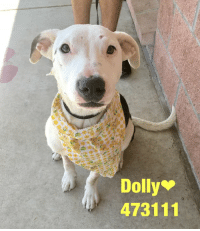 Dogs, Food, and Memes: Dolly  473111 Email Placement@sanantoniopetsalive.org if you are interested in Adopting, Fostering, or Rescuing!  Our shelter is open from 11AM-7PM Mon -Fri, 11AM-5PM Sat and Sun.  Urgent Pets are at Animal Care Services/151 Campus. SAPA! is Only in Bldg 1 GO TO SAPA BLDG 1 & bring the Pet's ID! Address: 4710 Hwy. 151 San Antonio, Texas 78227 (Next Door to the San Antonio Food Bank on 151 Access Road)  **All Safe Dogs can be found in our Safe Album!** ---------------------------------------------------------------------------------------------------------- **SHORT TERM FOSTERS ARE NEEDED TO SAVE LIVES- email placement@sanantoniopetsalive.org if you are interested in being a temporary foster!!**