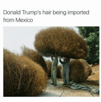 Donald Trump, Hair, and Mexico: Donald Trump's hair being imported  from Mexico