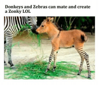 Funny, Lol, and Shit: Donkevs and Zebras can mate and create  a Zonky LOL #1 Kitty look of betrayal#2 You're under arrest.#3 My teacher marks me absent when I'm in class.#4 Donkeys and Zebras = Zonky#5 The best tip for your tests#6 Flat earthers#7 Tthe gayest shit I've ever seen#8 That Summer Doesn't Spare Anyone#9 Funny...
