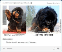Memes, 🤖, and Tibetan Mastiff: dont blinknerd Capitolpureblood...  Source :do-m-i-n-o  TIBETAN MASTIFF  TIBETAN MASTIFF PUPPY  alexicography  Tibetan Mastiffs are apparently Pokemons.  209 734 notes The closest thing you'll get to having your own Pokemon...