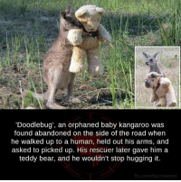 Facts, Memes, and Ups: 'Doodlebug', an orphaned baby kangaroo was  found abandoned on the side of the road when  he walked up to a human, held out his arms, and  asked to picked up. His rescuer later gave him a  teddy bear, and he wouldn't stop hugging it.  fb.com/facts weird #FreakyFacts
