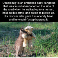 Aww, Bear, and Http: 'Doodlebug is an orphaned baby kangaroo  that was found abandoned on the side of  the road when he walked up to a human,  held out his arms, and asked to picked up.  His rescuer later gave him a teddy bear,  and he wouldn't stop hugging it. Aww http://t.co/iwMJT39rKm