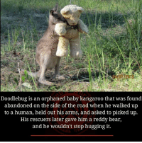 reddi: Doodlebug is an orphaned baby kangaroo that was found  abandoned on the side of the road when he walked up  to a human, held out his arms, and asked to picked up.  His rescuers later gave him a reddy bear,  and he wouldn't stop hugging it