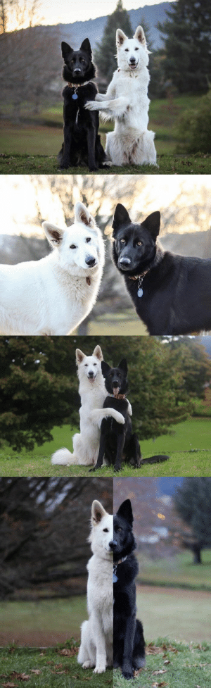 Tumblr, Blog, and Http: doomy: babyanimalgifs: these dog wedding photos will make your day  me n my goth gf