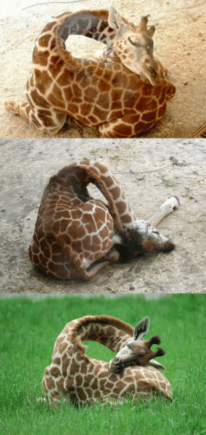 Target, Tumblr, and Astrology: dorkly-astrology:  sixpenceee:  A compilation of adorable sleeping giraffes. I thought this was necessary.(Source)  AWWW*GASP* AWWWW*GASP* AWWWWW