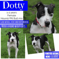 Dogs, Memes, and Puppies: Dotty  1-2 years  Female  Hound/Pit Bull mix  GOOD W/DO6S, KIDS AND HOUSEBROKEN  NEEDS A HOME W/OUTCATS  FOREVER BEGINS  HUMANE  SocIETY  MIDLAND COUNTY All dogs/puppies in our shelter can be viewed here.  Any dog not being held as a stray is available for immediate, same-day adoption! Adoption applications are reviewed on site. Please share our dogs and help get them out of the shelter as quickly as possible!  **PLEASE NOTE**  Placing an application on a dog featured in this album does NOT hold the dog for you.  All available dogs are available to be met and adopted same day if already altered.  If not altered, the dog can be met and paid for in order to hold the dog for you.  Thank you for your understanding!