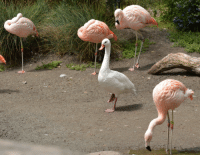 Fucking, Target, and Tumblr: doublechocolatechipworld:  the-late-great-abigail-quinn:  leftmyarminmycoat:  dictatorofbutts:  I was at the zoo the other day and there was this fucking goose trying to act likE A FUCKING FLAMINGO  this made my day its so adorable  This reminds me of one of my favorite conservation stories!! When they were trying to bring Puffins back to islands on the US east coast they decided to do so with dummies. Puffins are very social, and as a result would want to land on islands that already have puffins. The dummies looked real from a distance, but were seriously lacking up close, held up by a single peg. Puffins, being social and wanting to fit in, followed suit:   Awwwww